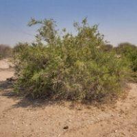 Salvadora Persica naturel non dangereux